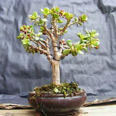 crassula ovata bonsai - Pesquisa Google