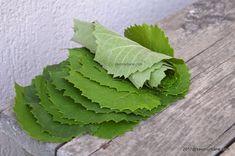 Frunze de vita de vie la borcan sau congelator | Savori Urbane Plant Leaves, Urban, Plants, Life, Plant, Planets