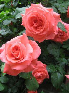 Dee Dee Bridgewater ~ Hybrid Tea / Climbing Rose