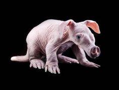 Baby Aardvarks