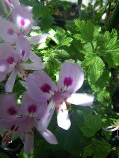 Scented Pelargonium / Geranium Citronella and cooking with scented pelargonium…