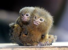 A pygmy marmoset - the smallest species of monkey in the world - is seen carrying its baby on its back in the rainforest zone of the Ocean Park attraction in Hong Kong.