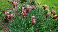 Bearded irises are one of my favorite perennial bulbs. My mother has always loved them and the sight of them is very nostalgic for me. Amazing Gardens, Beautiful Gardens, Iris Rhizomes, Perennial Bulbs, Yard Ornaments, Wonderful Flowers, Replant, Trees And Shrubs, Container Plants