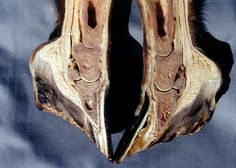 Normal foot and a foundered foot
