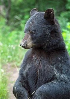 """""""A fed bear is a dead bear."""" Truer words are seldom spoken, especially in West Virginia, where black bears are abundant and wildlife officials no longer have places to relocate nuisance animals. - See more at: http://www.wvgazette.com/article/20140509/ARTICLE/140509278/1115#sthash.AdDzupTy.dpuf"""