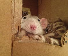 It's What's Inside that Counts: 15 Inexpensive Ways to Make Your Pet Rats' Cage Fun & Comfy