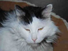 OREO COOKIE is an adoptable Domestic Long Hair Cat in Brewster, MA.