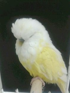 Half sider Double Factor Spangle white\/yellow