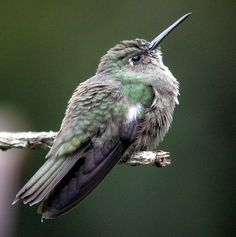 Sombre Hummingbird, Aphantochroa cirrochloris, it is the only species in its genus: endemic to Brazil