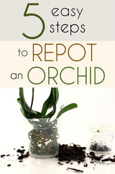5 easy steps to repot an orchid. If you've had an orchid for a couple years and it's still in the pot it came in, you musk know the roots are rotting. The solution is to repot the orchid in… Orchid Plant Care, Orchid Plants, Air Plants, Indoor Plants, Orchid Repotting, How To Plant Orchids, Transplanting Orchids, Orchid Seeds, Potted Plants