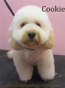 17 Best Maltipoo Cuts Images Doggies Maltipoo Haircuts