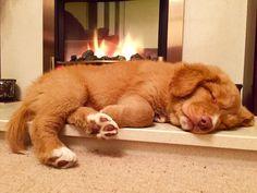 Toller puppy snoozin'