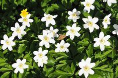 Margariittoja, Kukka, Kukat