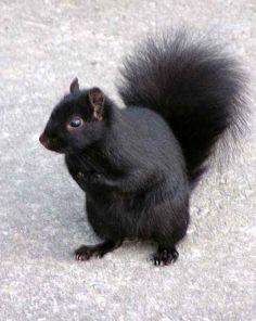 Pretty Animals, Animals Beautiful, Black Squirrel, Chipmunks, Black Bear, Cats, Squirrels, Backyard, Business