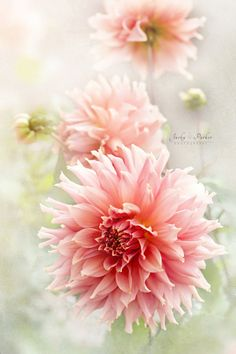 Dahlia 'Fairway Spur' by Jacky Parker ❖❣❖✿ღ✿ ॐ ☀️☀️☀️ ✿⊱✦★ ♥ ♡༺✿ ☾♡ ♥ ♫ La-la-la Bonne vie ♪ ♥❀ ♢♦ ♡ ❊ ** Have a Nice Day! ** ❊ ღ‿ ❀♥ ~ Mon 21st Sep 2015 ~ ~ ❤♡༻ ☆༺❀ .•` ✿⊱ ♡༻ ღ☀ᴀ ρᴇᴀcᴇғυʟ ρᴀʀᴀᴅısᴇ¸.•` ✿⊱╮