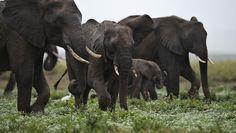 Cazadores Furtivos Envenenan Con Cianuro A Decenas De Elefantes En Zimbabwe