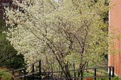 Downy Serviceberry (Serviceberry)  This tall shrub or small tree is found throughout most of Missouri in open or rocky woods. The showy white flowers are among the first of the early spring trees and shrubs to bloom. The striking flowers, the purplish, often sweet berries and the brilliant fall color make serviceberry an attractive landscaping tree.
