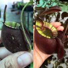Nepenthes [(viking x Ampullaria) x Ampullaria Black Miracle] x (viking x Ampullaria Black Miracle) More than 150 different types of insects have been identified as victims, but also arachnids (spiders and mites), mollusks (snails and slugs), earthworms, and small vertebrates (small fish, amphibians, reptiles, rodents, and birds) are known to have been caught. The largest animal ever found trapped in one of the plants was a small rat.