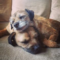 Border Terriers napping