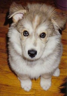 Logan, the Wolamute as a young puppy (Alaskan Malamute / Timber Wolf hybrid) - I want! Reminds me of Cisco our malamute/timber wolf dog we had growing up. Loved him! Baby Animals, Funny Animals, Cute Animals, Wild Animals, Wolf Hybrid Puppies, I Love Dogs, Cute Dogs, Dog Rules, My Animal