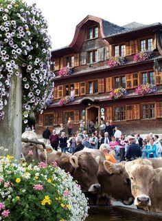Cows fill the main square of Schwarzenberg, Austria