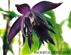 Clematis 'Purple Spider'. A slightly sinister flower in deep purple.