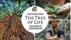 "Cedar ""The Tree of Life"" ✨Herbal Jedi Video Series✨ Join 'Edu-taining"" Herbalist Yarrow Willard, as he uses humour, spirit and knowledge to explores the West. Healing Herbs, Medicinal Plants, West Coast Living, How To Make Oil, Herbs For Health, Western Red Cedar, Edible Plants, Farm Gardens, Alternative Medicine"
