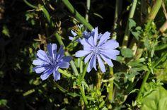 Cicoria comune (Cichorium intybus)