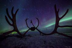 Reindeer antlers, Feb 20. 2014 at Skogvoll, Andøya island, Norway. Photographer Benny Hoynes