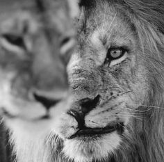 Be strong, like a lion 🦁 Yes or no? Nature Animals, Animals And Pets, Baby Animals, Cute Animals, Beautiful Cats, Animals Beautiful, Lion And Lioness, Lion Love, Lion Art
