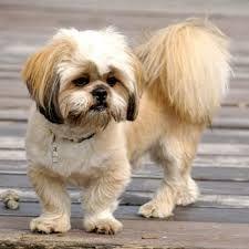 Resultado de imagem para corte de cachorro tosa bebe macho lhasa