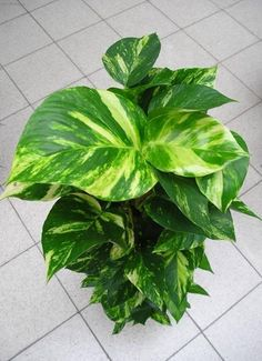 How to Care for Devil's Ivy. Commonly known as devil's ivy or golden pothos, we are referring to a house plant from the Araceae family. The devil's ivy use is essentially as a decorative element in the home, shopping malls, offic. Ivy Plant Indoor, Indoor Garden, House Plants Decor, Plant Decor, Ivy Plants, Garden Plants, Magic Garden, Tropical Plants, Shade Garden
