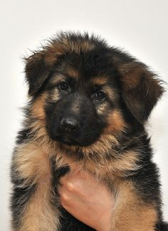 Wicked Training Your German Shepherd Dog Ideas. Mind Blowing Training Your German Shepherd Dog Ideas. Cute Dogs And Puppies, Baby Dogs, I Love Dogs, Doggies, Corgi Puppies, Pet Dogs, Beautiful Dogs, Animals Beautiful, German Shepherd Puppies