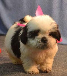 Tucker – Maltipoo Puppies for Sale in PA | Keystone Puppies ...