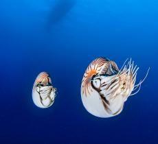 Two nautiluses (Nautilus belauensis) off the coast of Palau