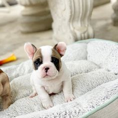 Amazing French Bulldogs | AKC French Bulldog Puppies For Sale | French Bulldog Breeder : AVAILABLE PUPPIES Miniature French Bulldog, Cream French Bulldog, Mini Bulldog, French Bulldog For Sale, Mini French Bulldogs, White French Bulldog Puppies, Cute Puppies And Kittens, Black Pug Puppies, Teacup Puppies For Sale