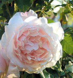 ~Climbing Rose 'Mme Alfred Carrière', 1879. This rose has been incredible, already at the top of our pergola and intertwining with Spirit of Freedom.