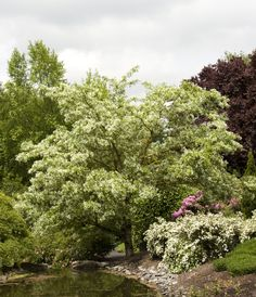 Chinese Fringe Tree - Monrovia - small tree with upright branches forming a dome shape. Soft green leaves back magnificent clusters of fragrant, fringe-like blooms. Needs regular watering - weekly, or more often in extreme heat.Slow growing to 15 to 20 ft. high, 20 to 25 ft. wide.