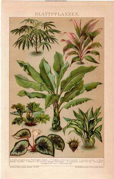 1889 palm leaf plant original antique botanical print