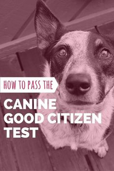 Learn how to pass the Canine Good Citizen (CGC) test with our study guide!