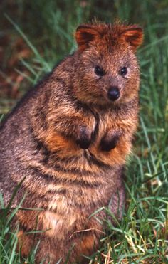 Quokka  -  The Quokka is a small marsupial like the forest wallabies and tree kangaroo's of eastern Australia. Very active at night, the Quokka sleep (often in small groups) during the day in the shelter of dense vegetation, and at night time (being sociable)up to 150 adults converge on waterholes