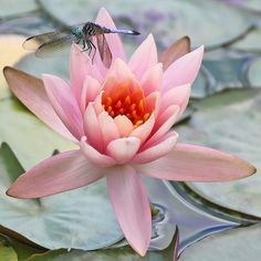 araknesharem:  Blue dasher on water lily by cheryl.rose83 on Flickr.