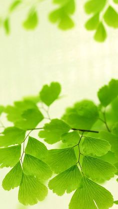 Nature Bright Ginkgo Tree Leaves #iPhone #5s #wallpaper