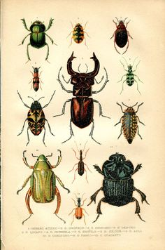 1891 Antique Entomology Print, Scarabs, Beetle, Coleoptera Chromolithograph