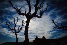 Trees like Earth´s claws  cadaqués. catalunya