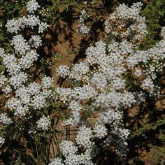 Selago (Walafrida) densiflora Highveld groundcover Plants, Plant, Planets