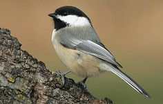 Black-Capped Chickadee, I love to watch these cute characters