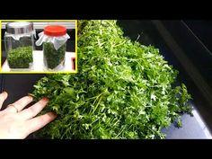How to store coriander leaves for long time Food Hacks, Baking Hacks, Food Tips, Cooking Tips, Aloo Methi, Food Lab, Growing Herbs, Edible Flowers
