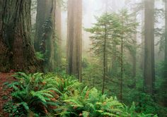 visit the Redwood National Park in Cali.  Maybe also make a pitstop to Fern Canyon, a ravine 30-50 ft with walls covered in ferns.
