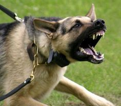 Image result for dog with aggressive behavior